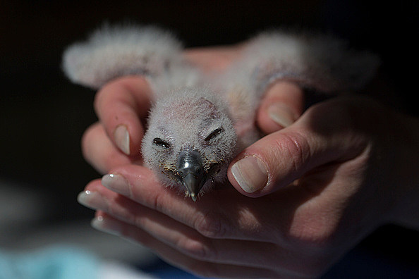 Conservation Work Is Carried Out At The International Centre For Birds Of Prey